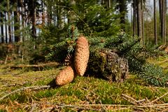 Spruce cones Royalty Free Stock Photography