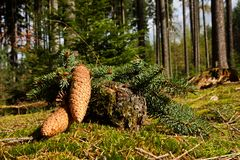 Spruce cones Stock Photos