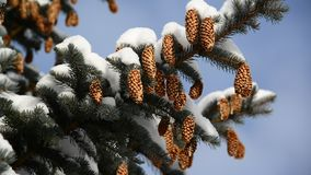 Spruce with cones in  snow-covered forest stock video footage
