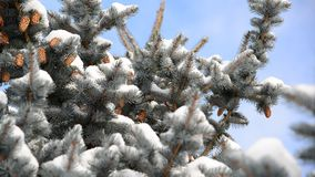 Spruce with cones in  snow-covered forest stock video