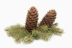 Spruce cones on a spruce branch Royalty Free Stock Photos