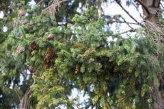 Spruce cones. stock image