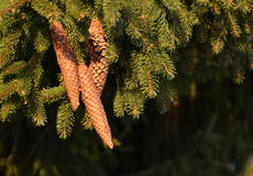 Spruce cones Royalty Free Stock Image
