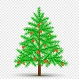 Spruce with cones transparent background. Spruce with cones on transparent background. Christmas fir tree and pine cone in branches. Green needles plant with Stock Photography