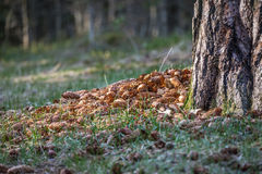 Spruce cones under tree. A pile of cones under a large tree Stock Photography