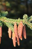 Spruce Cones Stock Photography