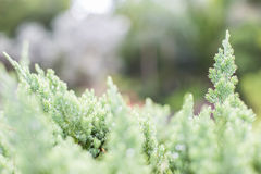 Spruce. Conifer evergreen tree Royalty Free Stock Photography
