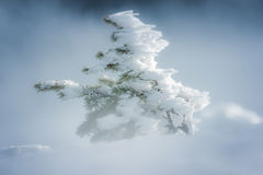 Spruce cover with snow. A snowy little spruce in the warm color of the winter sun Royalty Free Stock Photography