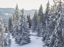 Winter scenery. Spruce covered in frost in Tihuta Pass Royalty Free Stock Photography