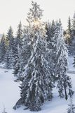Winter scenery. Spruce covered in frost in Tihuta Pass Royalty Free Stock Images