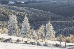 Winter scenery. Spruce covered in frost in Tihuta Pass Royalty Free Stock Photos
