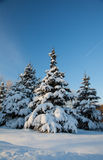 Spruce covered with snow Royalty Free Stock Image