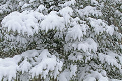 Background, spruce covered with snow Stock Photos