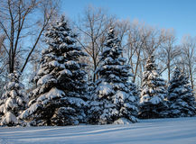 Spruce covered with snow Stock Images