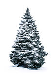 Spruce covered with snow Stock Photo