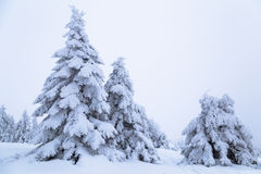 Spruce covered with snow on a mountain slope. Stock Image