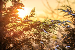 Spruce covered with snow. During sunset. Nature background Stock Photos