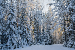 Spruce covered with snow in winter forest.  Estonia. Royalty Free Stock Photos