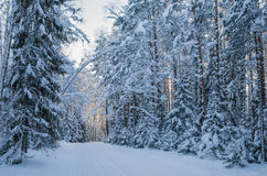 Spruce covered with snow in winter forest Royalty Free Stock Photos