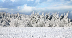Spruce covered with snow. Winter landscape. Stock Photo