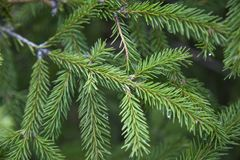 Spruce, decoration, postcard, christmas, holiday, wallpaper, background, tree, evergreen, spiky needles stock images