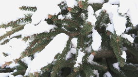 Spruce detail in snow stock footage