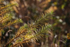 Spruce Detail Royalty Free Stock Photography