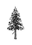 Spruce. Drawing tree on white background. Stock Images
