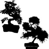 Spruce and ficus bonsai Royalty Free Stock Image