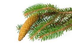 Spruce filial med den isolerade kotten Royaltyfria Foton