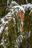 spruce Filialer kottar, visare snow zoom Royaltyfri Fotografi
