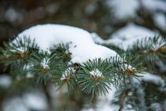 Spruce filialer med snow Royaltyfria Bilder