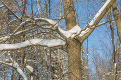 Spruce filialer med snow Royaltyfria Foton