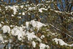 Spruce filialer med snow Arkivfoto