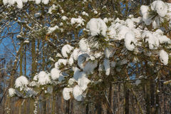 Spruce filialer med snow Arkivbilder