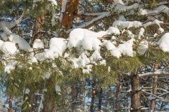 Spruce filialer med snow Arkivfoton