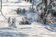 Spruce filialer med snow Royaltyfri Fotografi