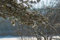 Spruce filialer med snow Arkivbild