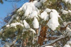 Spruce filialer med snow Fotografering för Bildbyråer