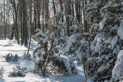 Spruce filialer med snow Royaltyfri Foto