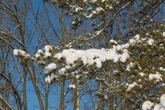 Spruce filialer med snow Royaltyfri Bild