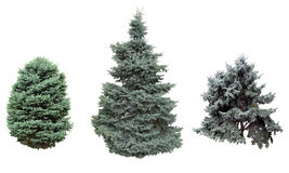 Spruce and fir blue. Royalty Free Stock Photography