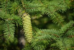 Spruce and fir cone Stock Photography