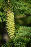 Spruce and fir cone Royalty Free Stock Photos
