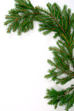 Spruce, fir, firtree Royalty Free Stock Photography