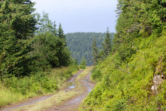Spruce fir forest in the Ukrainian Carpathians. Sustainable clear ecosystem. Direction. dirt road Royalty Free Stock Photo