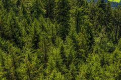 Spruce Fir Forest, Vegetation, Ecosystem, Tropical And Subtropical Coniferous Forests royalty free stock images