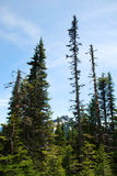 Spruce, Firs and Mountains Stock Photography