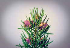 Spruce flowering Royalty Free Stock Image