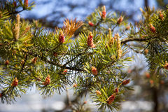 Spruce flowering Royalty Free Stock Photography